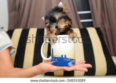 Teacup Yorkshire Terrier Puppy - stock photo