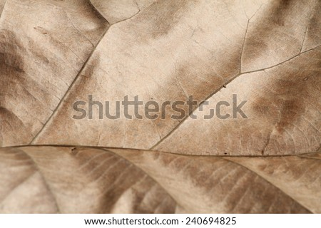 Teak leave texture. - stock photo