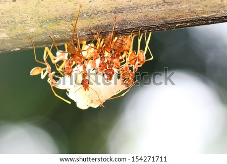 team of ants gathering rice, agriculture teamwork. focused on nearest workers - stock photo