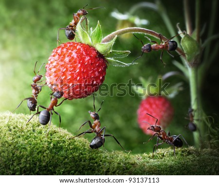 team of ants gathering wild strawberry, agriculture teamwork. focused on nearest workers