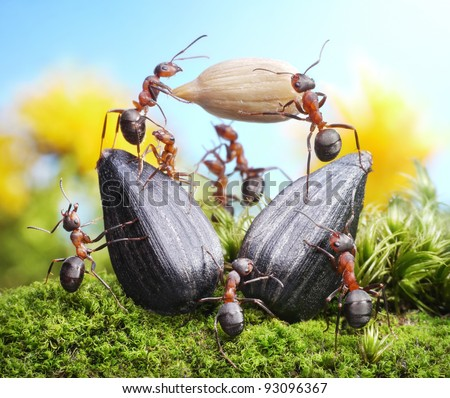 team of ants harvesting sunflower crops, agriculture teamwork - stock photo