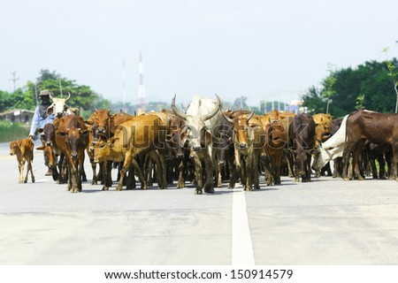 Team of  cows on road - stock photo
