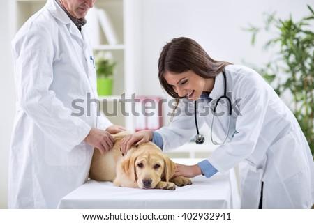 Teamwork veterinarian examining the sick dog - stock photo