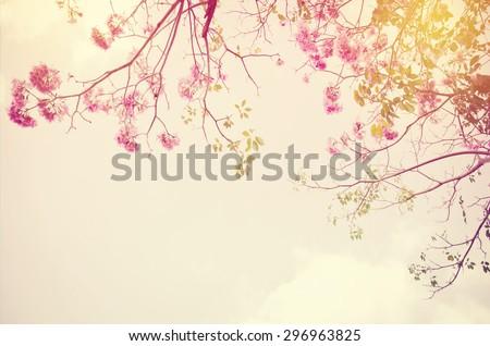 Tebebuia Flower on sky background , vintage retro style - stock photo