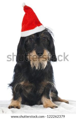 Teckel dog - stock photo