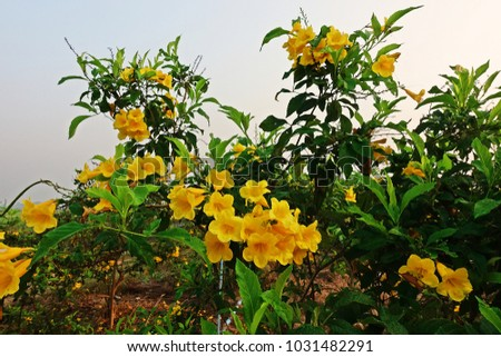 Tecoma stans species flowering shrub trumpet stock photo edit now tecoma stans a species of flowering shrub in the trumpet vine family bignoniaceae common mightylinksfo Choice Image