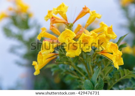 Tecoma stans yellow flowers at morning - stock photo