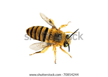 Teddy Bear Bee, Amegilla asaropoda, wingspan 21mm - stock photo