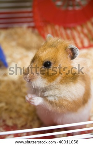Teddy bear hamster being cute in cage with wheel in background - stock photo