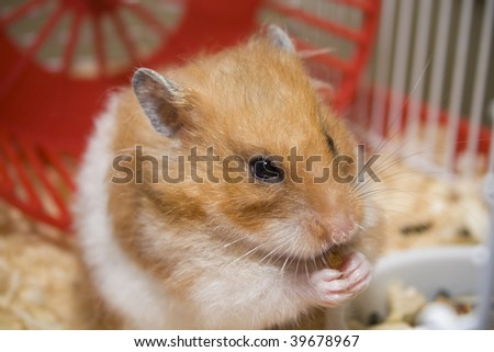 Teddy bear hamster eating in her cage - stock photo