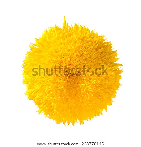 Teddy Bear Sunflower Isolated on white background - stock photo