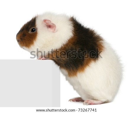 Teddy guinea pig, 9 months old, climbing on box in front of white background - stock photo