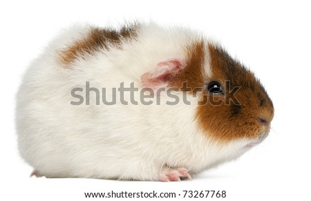 Teddy guinea pig, 9 months old, in front of white background - stock photo