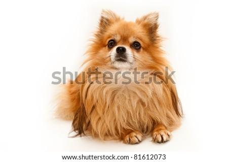 Teddy the small dog - stock photo