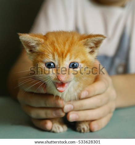 teen girl hands hold little one month old red fur blue eyes kitten.