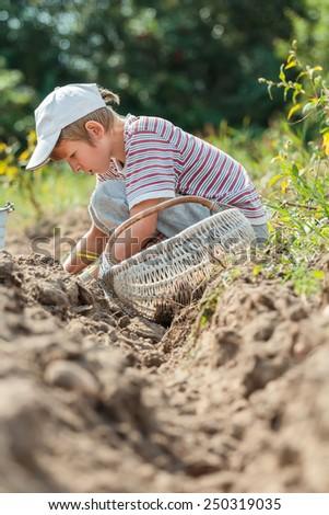 Teenage farmer at root vegetables and potatoes harvesting - stock photo
