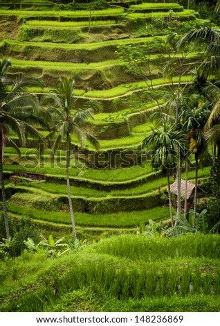 Tegallalang, Bali Rice Terraces. Some of the more spectacular rice terraces can be seen in the village of Tegallalang. Lush verdant green scenery and panoramic views are the order of the day. - stock photo