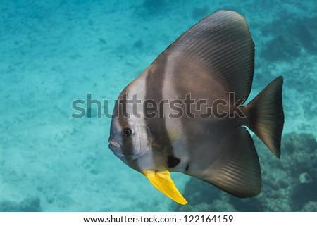 Teira batfish at Surin national park - stock photo