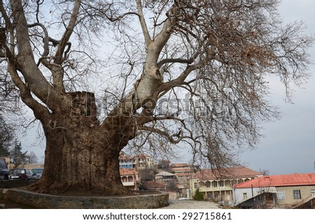 Telavi, Georgia-Feb,28 2015: 800-years old sycamore in the city of Telavi the oldest tree in Georgia