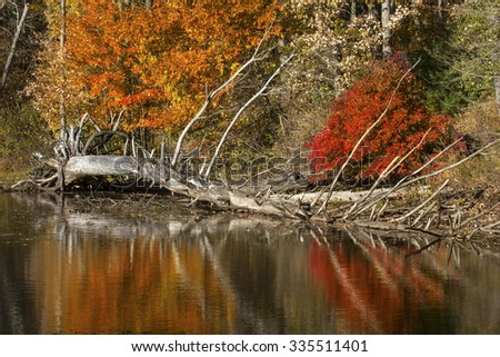 Telephoto view of dead tree and bright reflections of vibrant fall foliage on the shoreline of Mansfield Lake in Connecticut. - stock photo