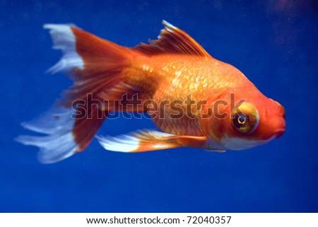 Telescope Eye Goldfish, Carassius auratus - stock photo
