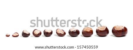 Ten chestnuts of different size on white background