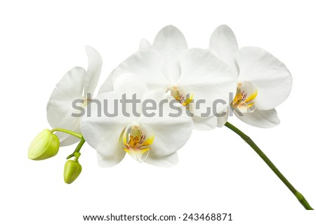 Ten day old white orchid isolated on white background. Closeup.