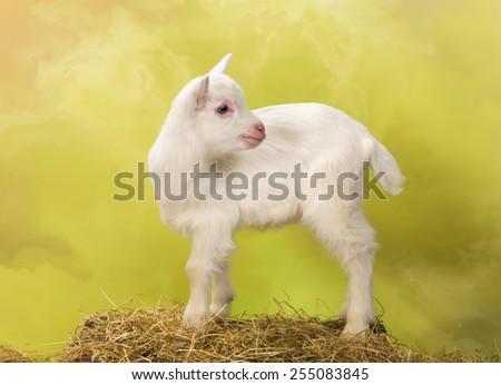 Ten days old little white baby milk goat - stock photo