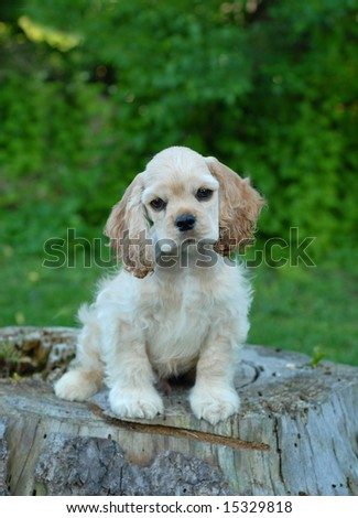 ten week old american cocker spaniel puppy sitting on tree stump - champion bloodlines - stock photo
