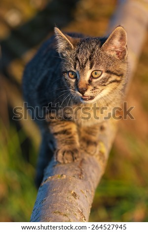 Ten weeks old tiger (tabby) kitten playing on a branch in the late afternoon sun - stock photo