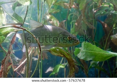 Tench in the lake - stock photo