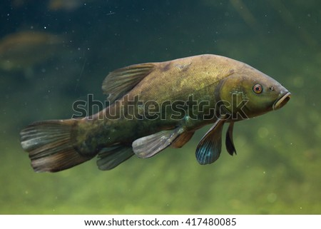 Tench (Tinca tinca), also known as the doctor fish. Wild life animal.  - stock photo