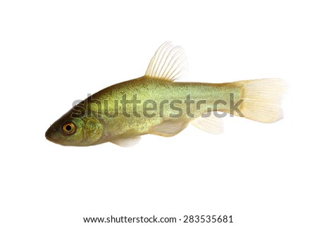 Tench (Tinca tinca) isolated on white - stock photo