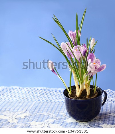 Tender crocuses in a put  on a  dark blue background