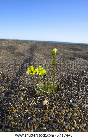 Tender flower growing on the pebble beach of Arctic Ocean