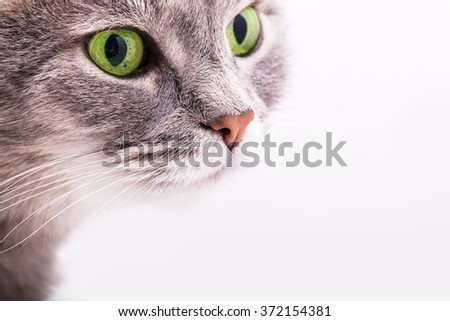 Tender look of a gray cat with green eyes. Horizontal shot, white background - stock photo