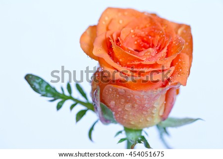 Tender orange rosebud with drops of water close-up. Macro image with small depth of field. Selective focus. - stock photo