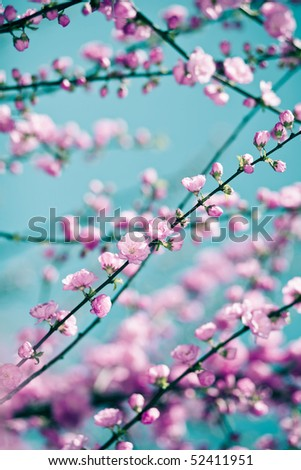 Tender pink sakura background over cyan sky. Low aperture shot, selective focus. - stock photo