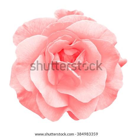 Tender red rose flower macro isolated on white - stock photo