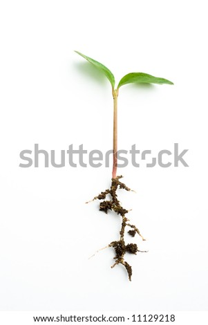 tender shoot and its roots in white background - stock photo