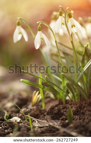tender spring snowdrops in early spring morning - stock photo