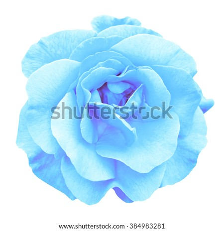Tender turquoise rose flower macro isolated on white - stock photo