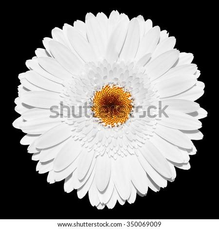Tender white gerbera flower macro isolated on black - stock photo