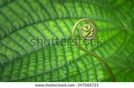 Tender young, tropical, spiral shaped fern frond close up in a forest.  - stock photo