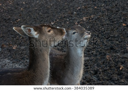 Tenderness. A pair of deer closeup.