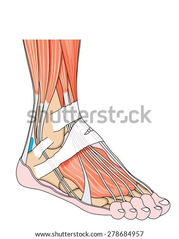 Tendons Muscles Foot Ankle Including Bones Stock Illustration ...