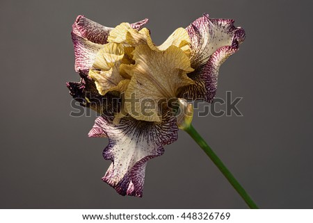 Tennessee woman bloom blooming. Beautiful spring flower open petal. Brown and white with purple edges iris blossom. - stock photo