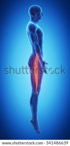 tensor fascia latae - stock photo