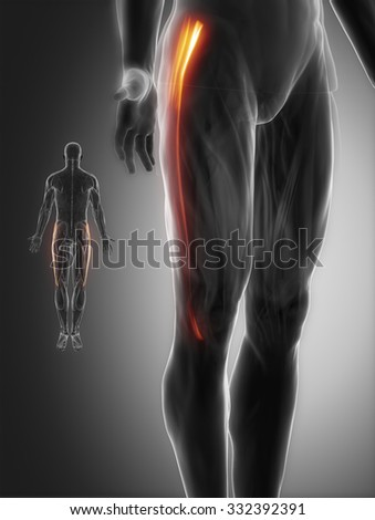 tensor fascia latae - muscle anatomy from differenangles - stock photo