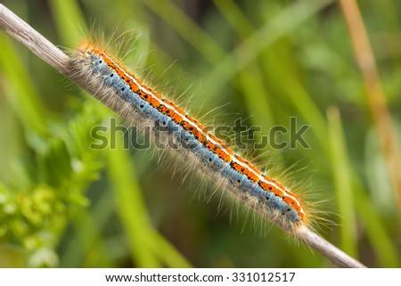 Tent caterpillar of the Ground Lackey Malacosoma castrensis & Tent Caterpillar Ground Lackey Malacosoma Castrensis Stock Photo ...